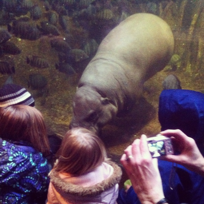 A little face time with the hippos at Lincoln Park Zoo.
